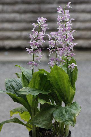 エビネ蘭や、その他の蘭です。 - クレマチスとベルと花々 こちらは、柔らかな紫色で、どれも素晴らしくて、興奮してしまいました。