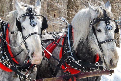 馬, 去勢, 冬, 馬の, 動物, 雪, 自然, ホワイト, 馬術競技