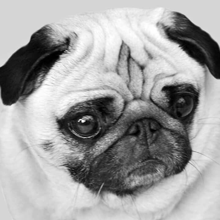 Black And White Baby Pugs Funny Teddy Bear Dog Pug Memes