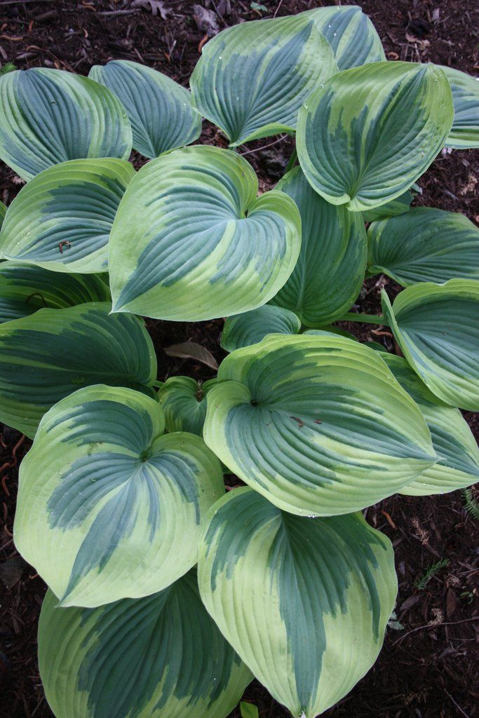 Hosta Earth Angel (H. Hansen 02) : Now, one of the great hostas has been made even better. We are pleased to offer Hosta 'Earth Angel', a marvelous white-edged mutation of Hosta 'Blu...