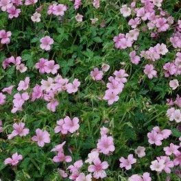 Geranium oxonianum 'Wargrave Pink' - Storkenæb