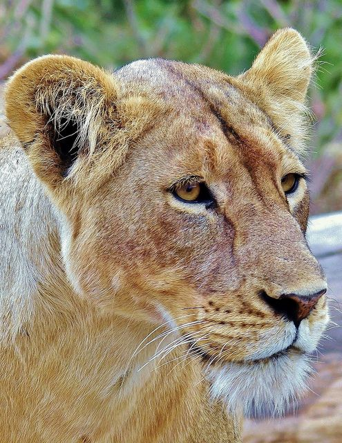 ~~Wild Lioness Image, Serengeti National Park, Tanzania by masaiwarrior~~