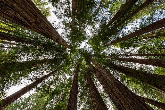 Muir Woods National Monument by Ryan Murphy: Magnificent old growth Coastal Redwoods in Marin County, CA. #National_Monument #National_Park #Muir_Woods #California