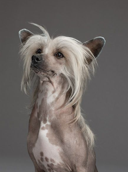 "Researchers have identified a single gene mutation that causes the ""hairlessness"" of dogs like Sugar, a Chinese crested."