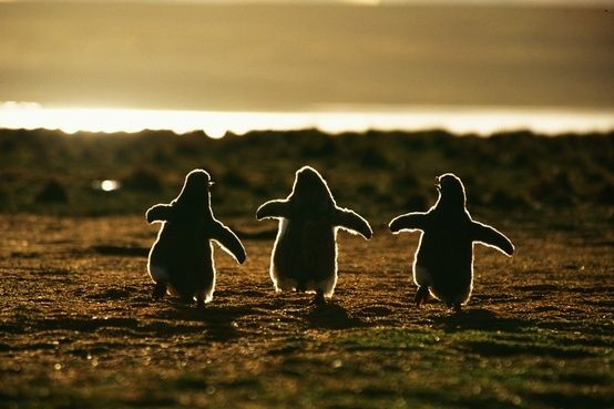 the lifted wings, so full of hope..Penguins