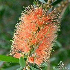 Callistemon Tangerine DreamBeautiful little bottlebrush with masses of striking gold-tipped tangerine orange flowers. Grows to 2m high x 1.5m wide, great for low maintenance native hedges and wildlife gardens. #hardy #australiannative
