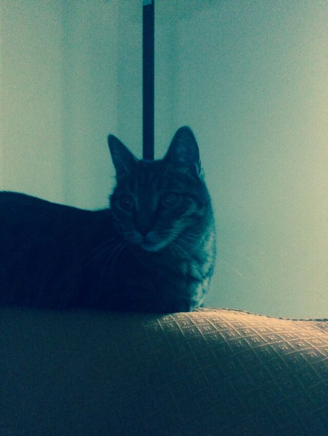 Chopin il gatto che ama il divano