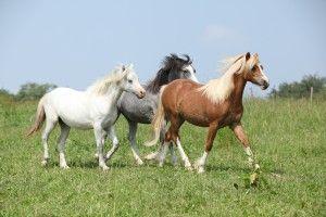 Social kontakt med andre heste er vigtig for hestens trivsel.