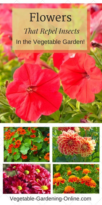 These beautiful flowers can actually help repel insect and soil pests, with an added bonus of creating a colorful focal point to your vegetable garden! Petunias, nasturtiums, chrysanthemums, geraniums, marigolds, and dahlias can all contribute to your vegetable garden health!