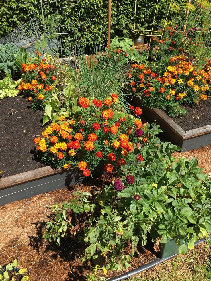 The Magnificent Marigold In Your Vegetable Garden Garden Magnificent Marigo Gemsegarten Garden Magnificent Marigo Marigold Vegetable Garden Plants