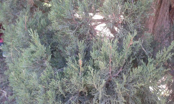 Fulla de un xiprer (ciprés, cupressus sempervirens) Per: Laia i Claudia. aquestes fulles tenen un color verd fosc i una vora partida. No té nervis i la seva forma és acicular.