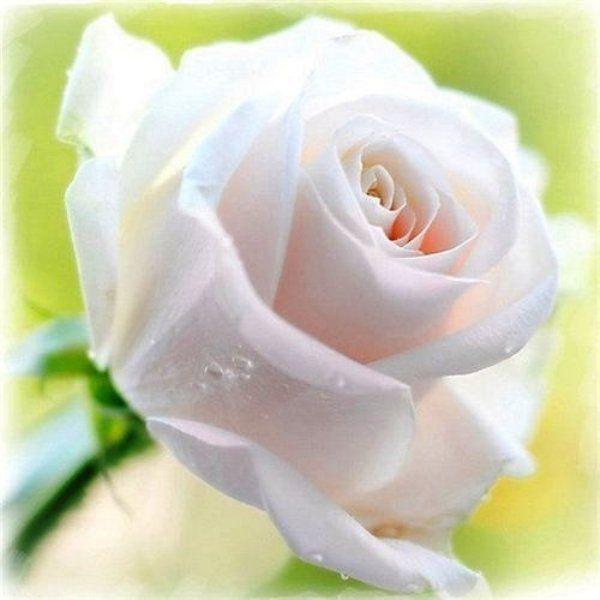 белые розы стихи красивые будет