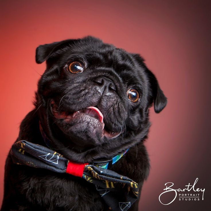 Ready For His Close Up Pet Pug Wearing A Harry Potter Bowtie In