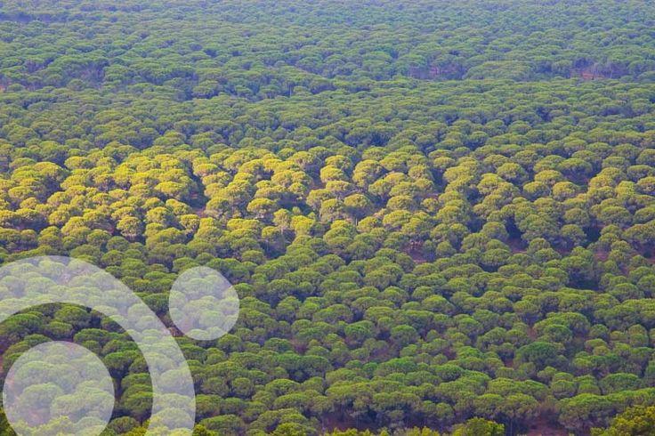 Stone pines in El Estrecho Natural Park, near #Tarifa
