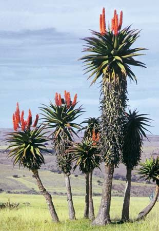 Aloe trees, an arboreal variant of the genus Aloe, are tall -- often twice the human length. Transkei region, South Africa. Photo: Graphic House/EB Inc.
