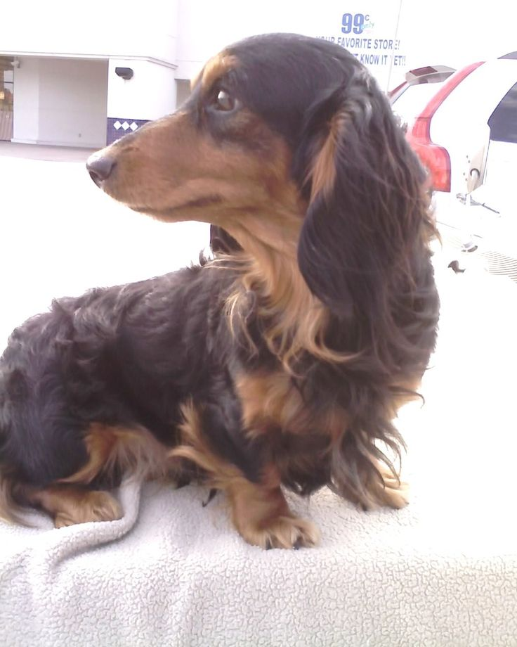 Mini dachshund puppies for sale isabella,doxie breeder, Mgm we are a miniature dachshund - breeder located in north idaho. * Details about pet dogs can be found by clicking on the image.