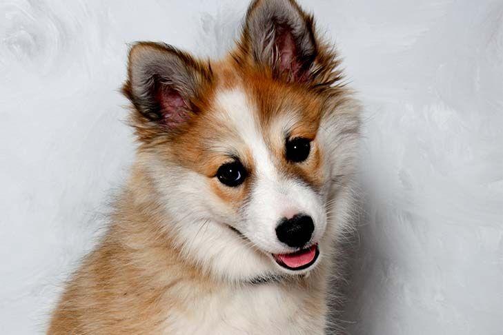 Shetland Sheepdog Sheltie Puppies For Sale In Ca Akc Puppyfinder Sheltie Puppies For Sale Sheltie Puppy Shetland Sheepdog