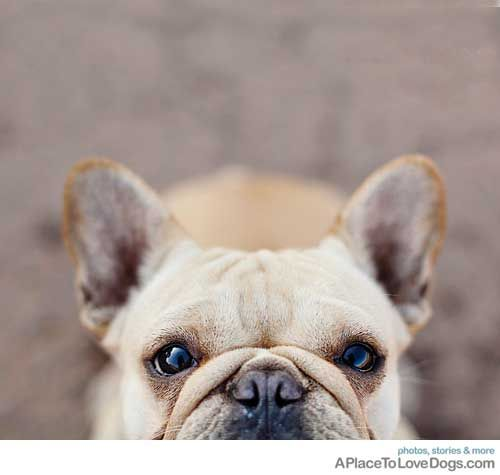 Small ears = rose ears, the traditional Frenchie.  Bat ears came from American breeding.