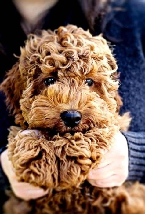 Golden doodle I want this dog so if Heath ever wants to get me something you girl's better tell him this!!