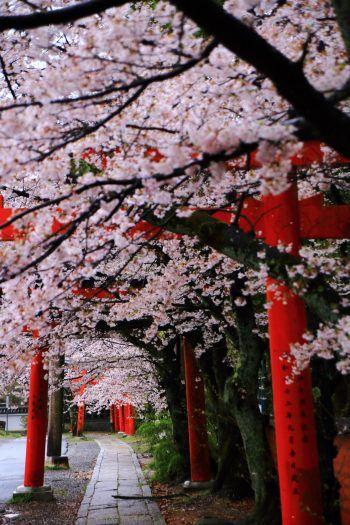 京都の桜の穴場の竹中稲荷神社の鳥居と満開の桜