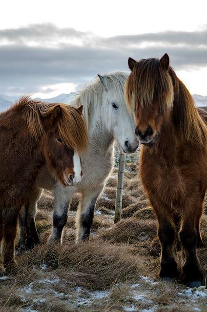Beautiful Icelandic Horses - Snaefellsness, Iceland