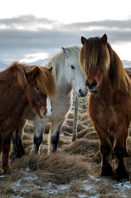 Beautiful Icelandic Horses - Snaefellsness, Iceland