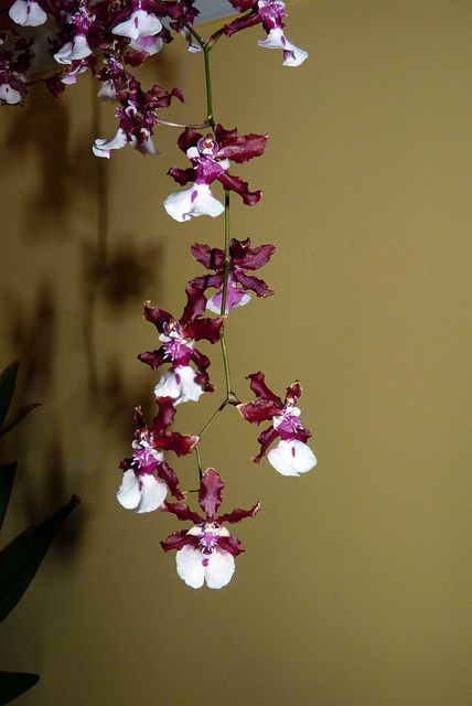 "Oncidium Orchids | the chocolate orchid""--Oncidium Sharry Baby hybrid orchid 