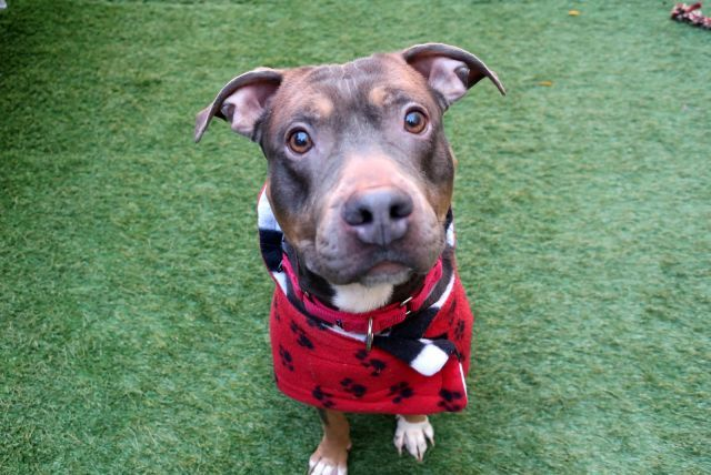 BENZ - 12132 - - Manhattan TO BE DESTROYED 11/17/17 A volunteer writes: With a name like Benz (first name Mercedes?) I was expecting an upper crusty kind of a dude, nose in the air, aloof and sophisticated. Instead, I met a fun-loving, lively, affectionate little guy who is every bit as stunning as the car after which he may have been named. Welcoming in his kennel he's anxious to hit the road, and while for the first minute he goes from 0 to 60, he settles into a ni
