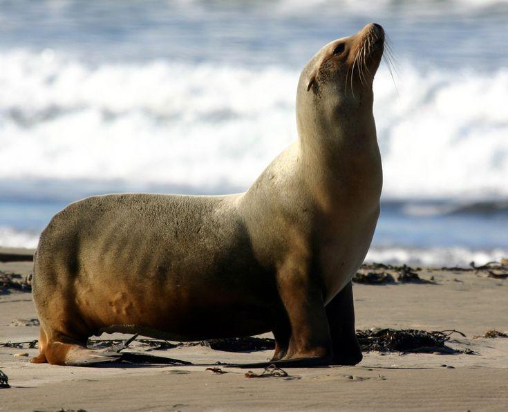 "California sea lion Zalophus californianus ""Ocean to circus"""