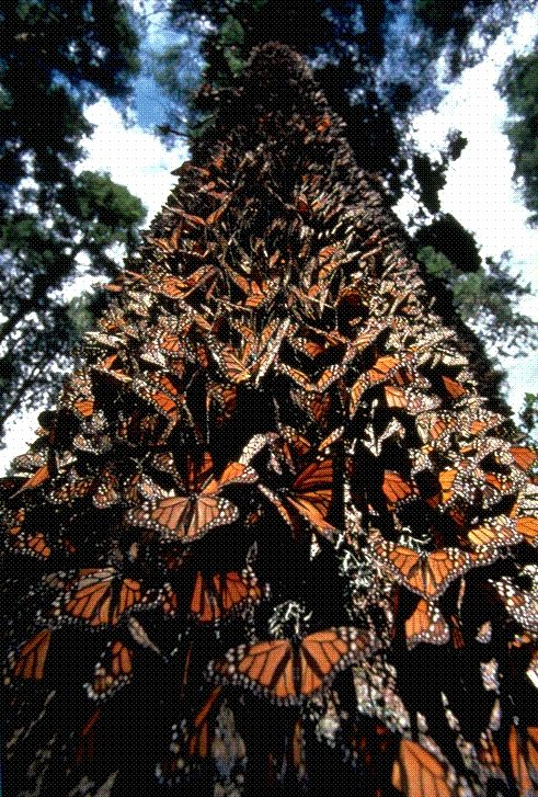 The Oyamel Forest during the migration of the Monarch Butterfly <3