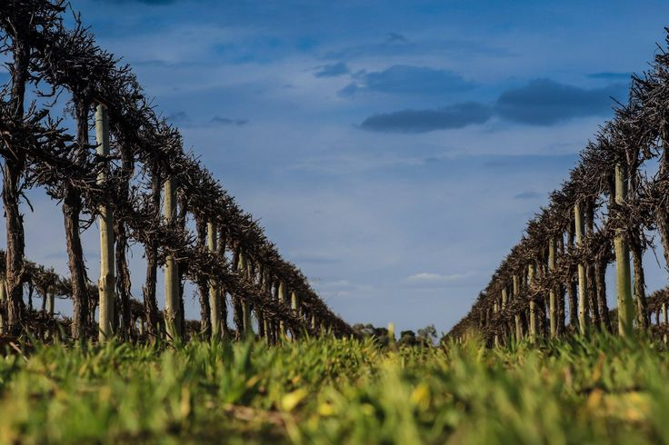 A common sight before Spring. Such a massive job in our region - pruning vines :) Thanks to Robyn Bacon for sharing.