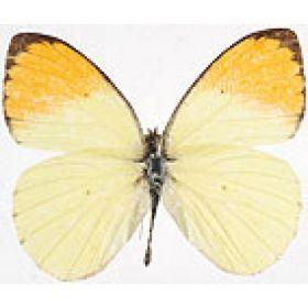 Vlinders :: Colotis auxo