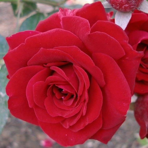 White Red Rose Flower Essence Lunar Eclipse Full Moon Etsy In 2020 Red Rose Flower Rose Flower Flower Essences
