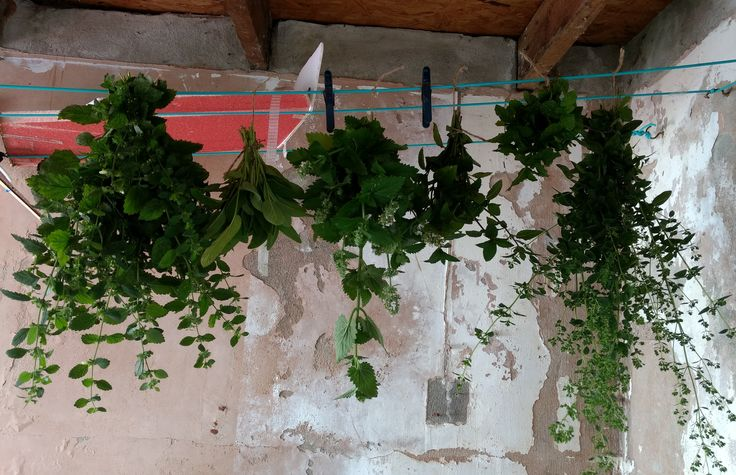 Herb harvest in Oxford UK - Sage Greek Oregano Lemonbalm Catmint Spearmint Chocolate Mint! #gardening #garden #gardens #DIY #landscaping #home #horticulture #flowers #gardenchat #roses #nature