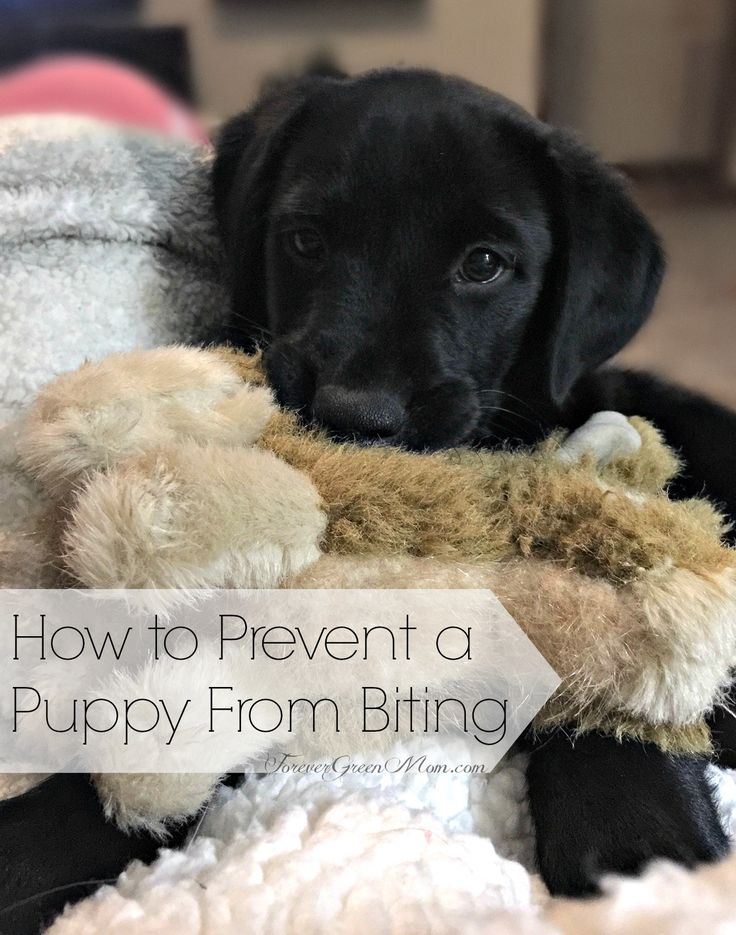 How to Prevent a Puppy From Biting has been a major concern with our new black lab puppy. Find out what we did to help him stop.