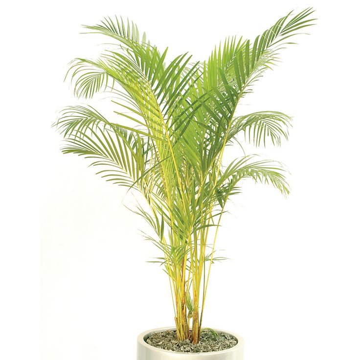 Chrysalidorcarpus Lutescens … wow! What a mouthful! Otherwise known as Bamboo Palm (much easier) has a VOC rating of eight out of ten! Cleaning our air while looking fetching at the same time … how wonderful!