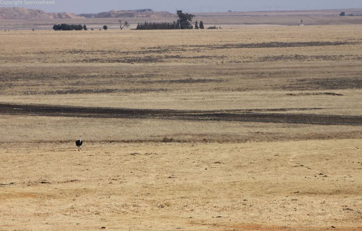 The Lone Ranger - Ostrich strolling through the vast Savannah