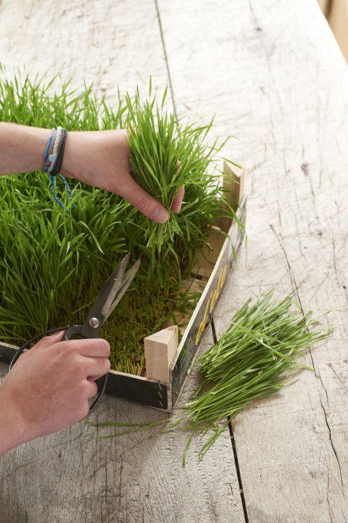 Weizengras Folge 2: Getreidegras selbst ziehen | eat sleep green