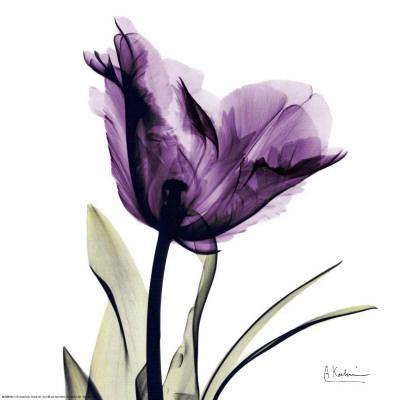 Royal Purple Parrot Tulip - Albert Koetsier