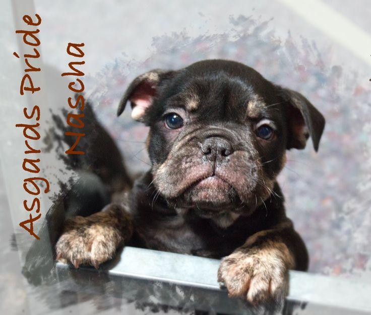 Ap Nascha A Tri Color Canneo English Bulldog By Asgards Pride Continental Bulldog Bulldogge Welpen