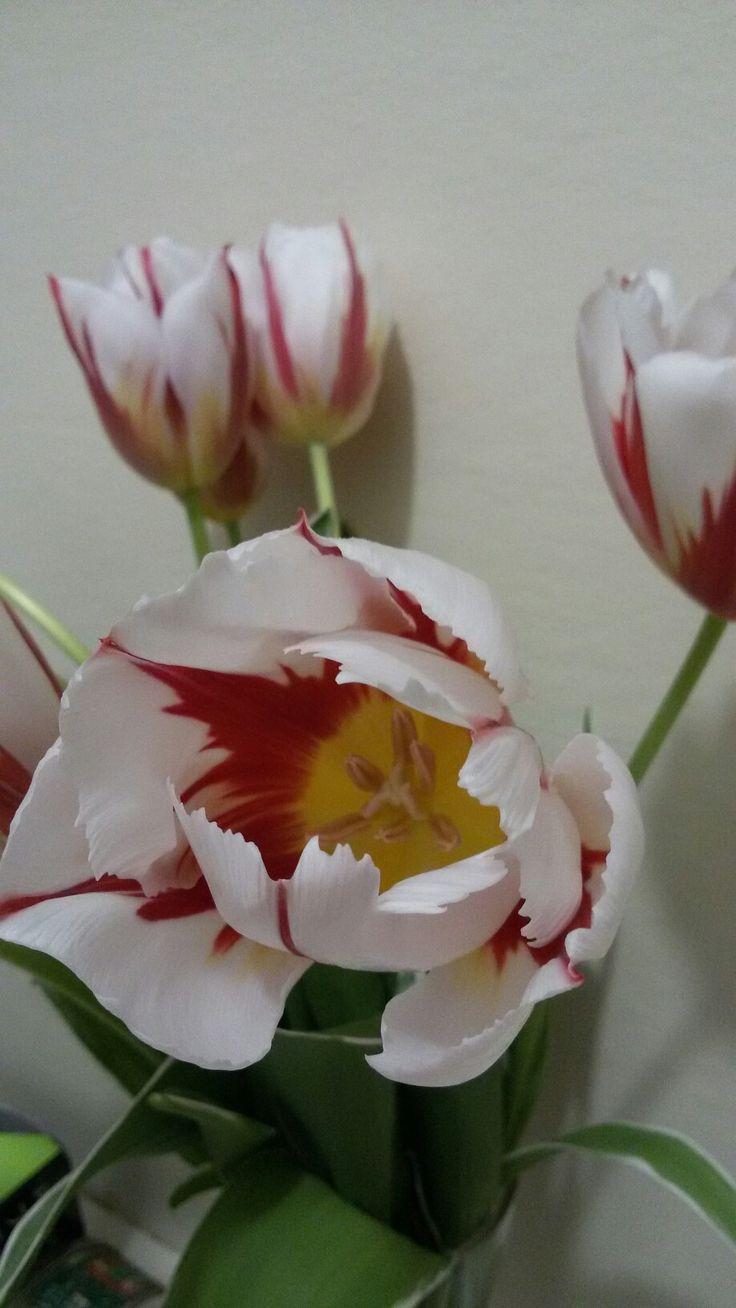 Tulipani bianchi rossi e gialli