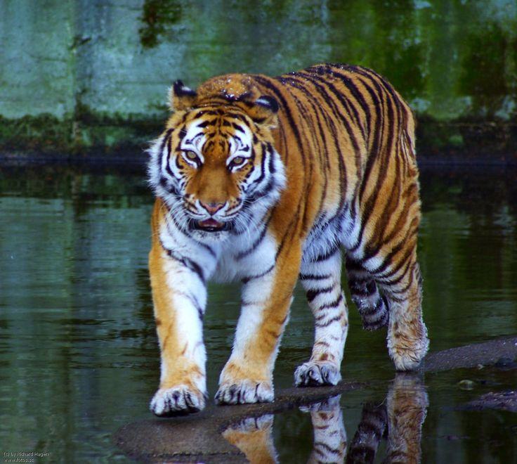tiger images   Tiger,Sibirischer Tiger, Wildtier,Katze,gestreift,Koenig,Dschungel ...