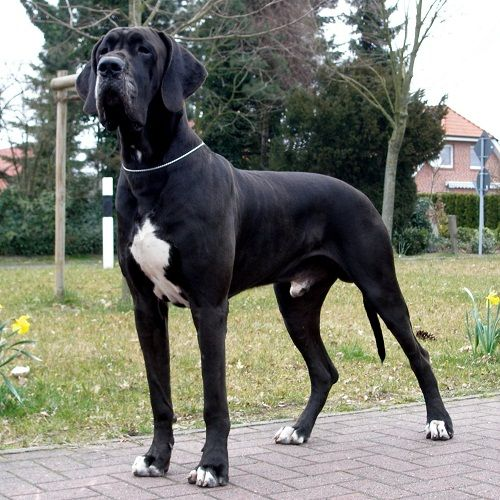 Black lab great dane mix