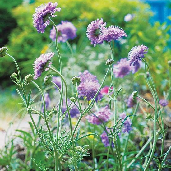 Butterfly Blue pincushion flower is a nonstop bloomer in the sunny border. The cushion-like blue flowers are borne on slender stalks reaching 12 to 15 inches tall and are a surefire way to attract butterflies.