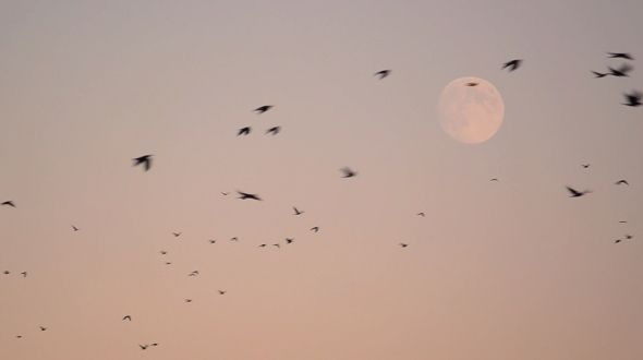 Flock of Crows Flying in the Sky Surrounded the Enormous Moon by NovaPolaris Flock of crows flying in the sky surrounded the enormous moon 1