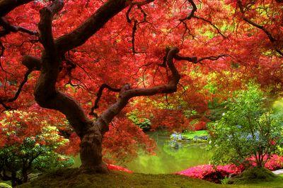 I heart Japanese maples.