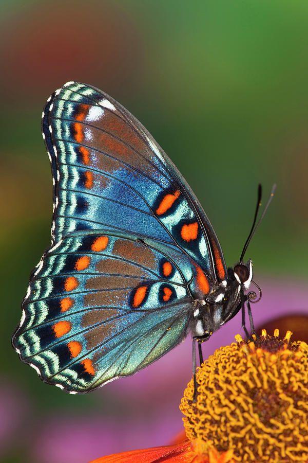 Borboleta Limenitis arthemis astyanax. Essas borboletas  têm asas escuras com marcações coloridas marcantes. São vermelhas-manchadas de roxo ou vermelhas-manchadas, sem faixas brancas nas asas.  Fotografia: Darrell Gulin.