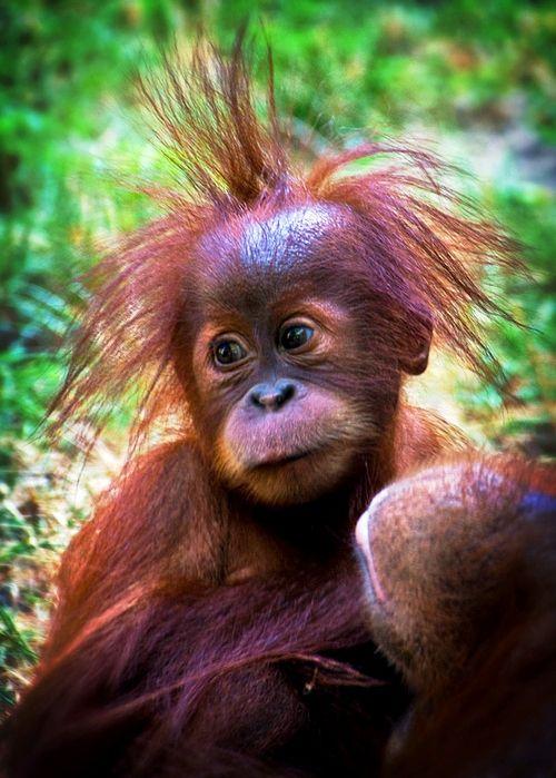 Orangutan Picture Funny Monkey Bad Hair Day