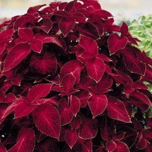 Wizard Velvet Red coleus - Annual Flower Seeds