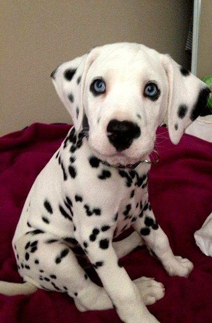Dalmatian Puppy!..